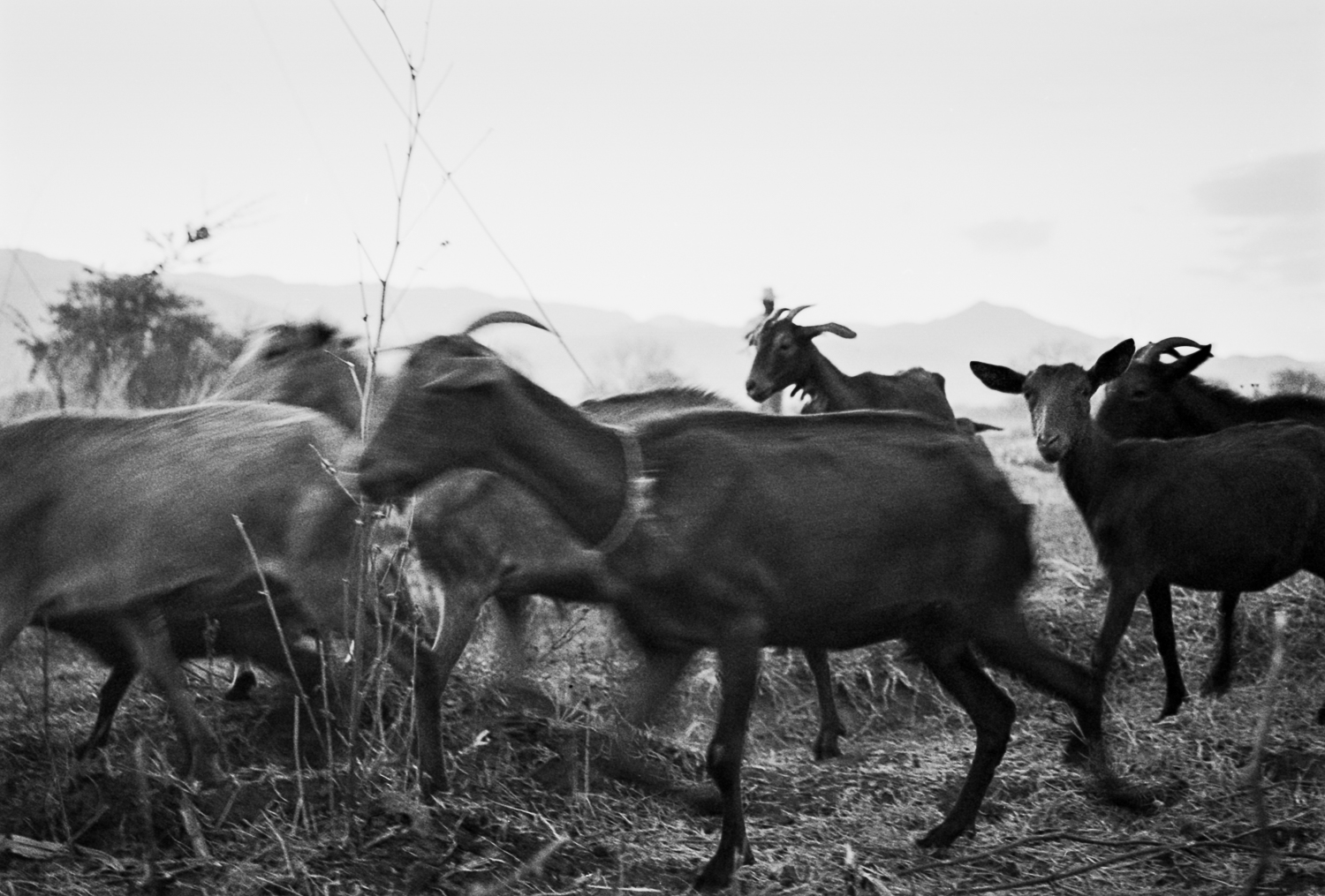 Goat herder on the side of the road Oaxaca, Cuba 2003   Made with Nikon FM camera with Kodak Tri-X 35mm 400 iso b&w film