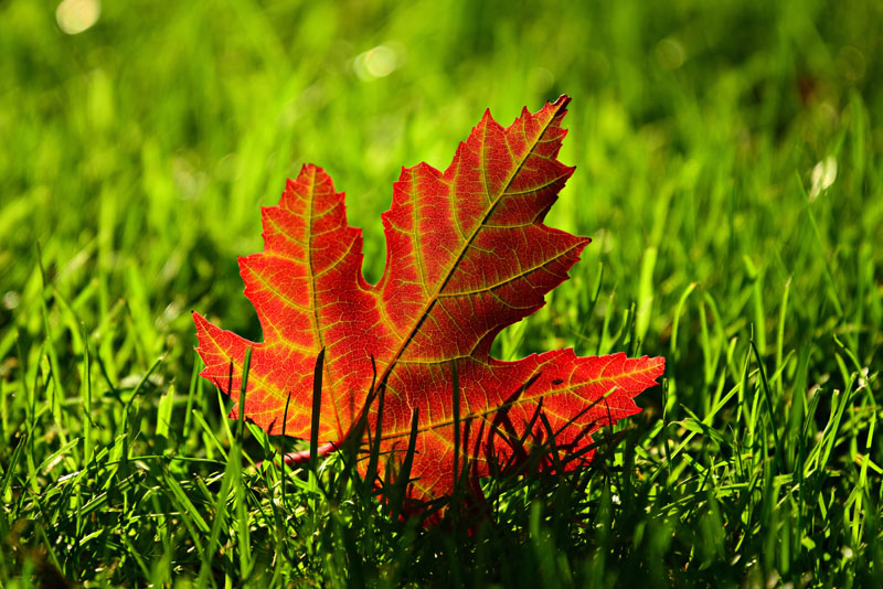 maple-leaf-3680684.jpg