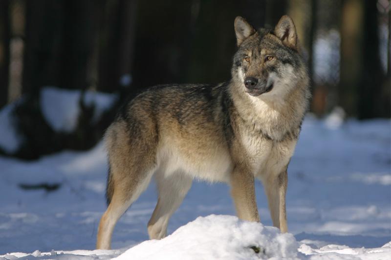 wolf-725388.jpg
