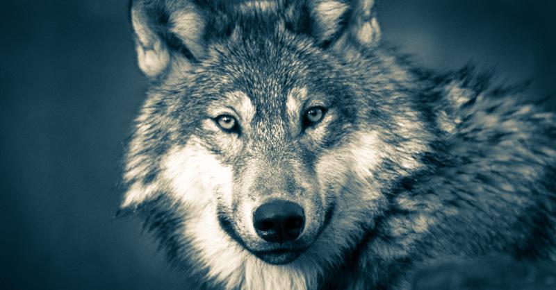 wolf-3577956.jpg