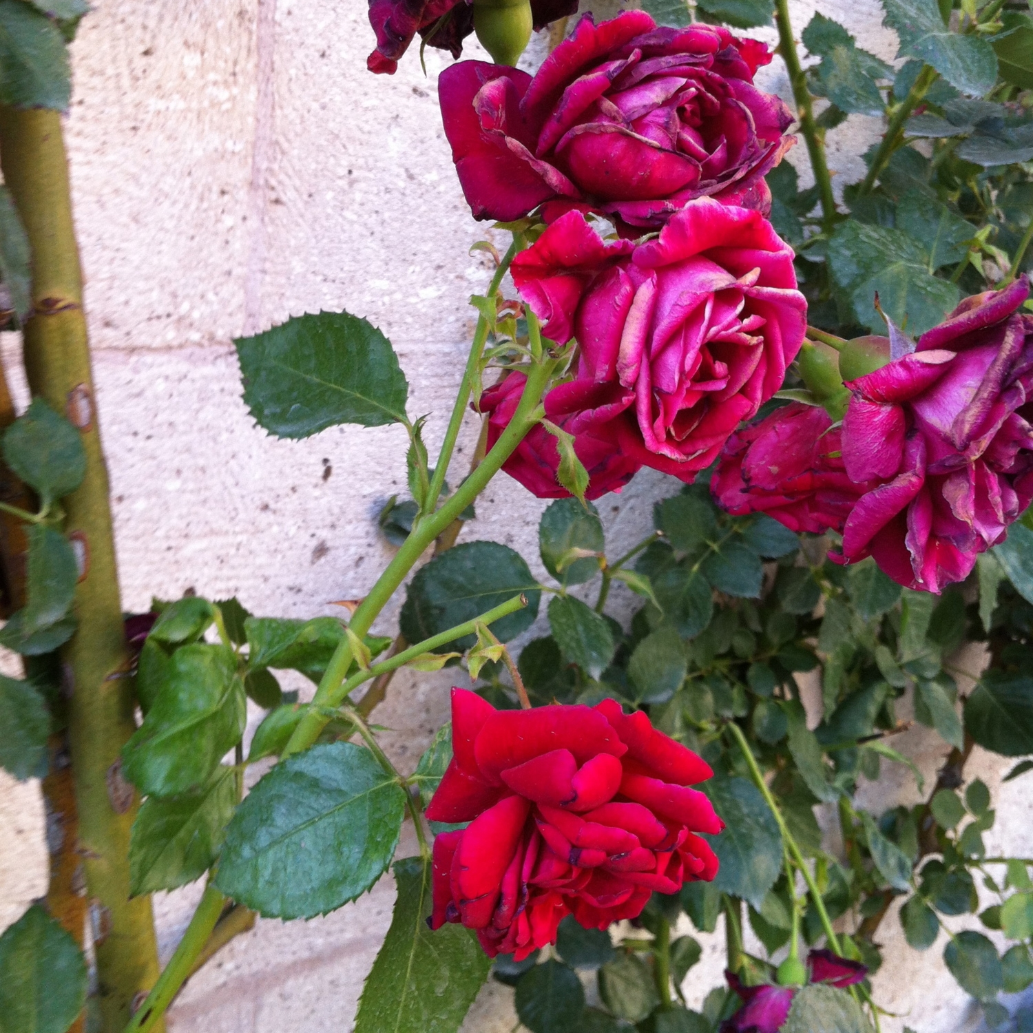 Roses growing in Turkey
