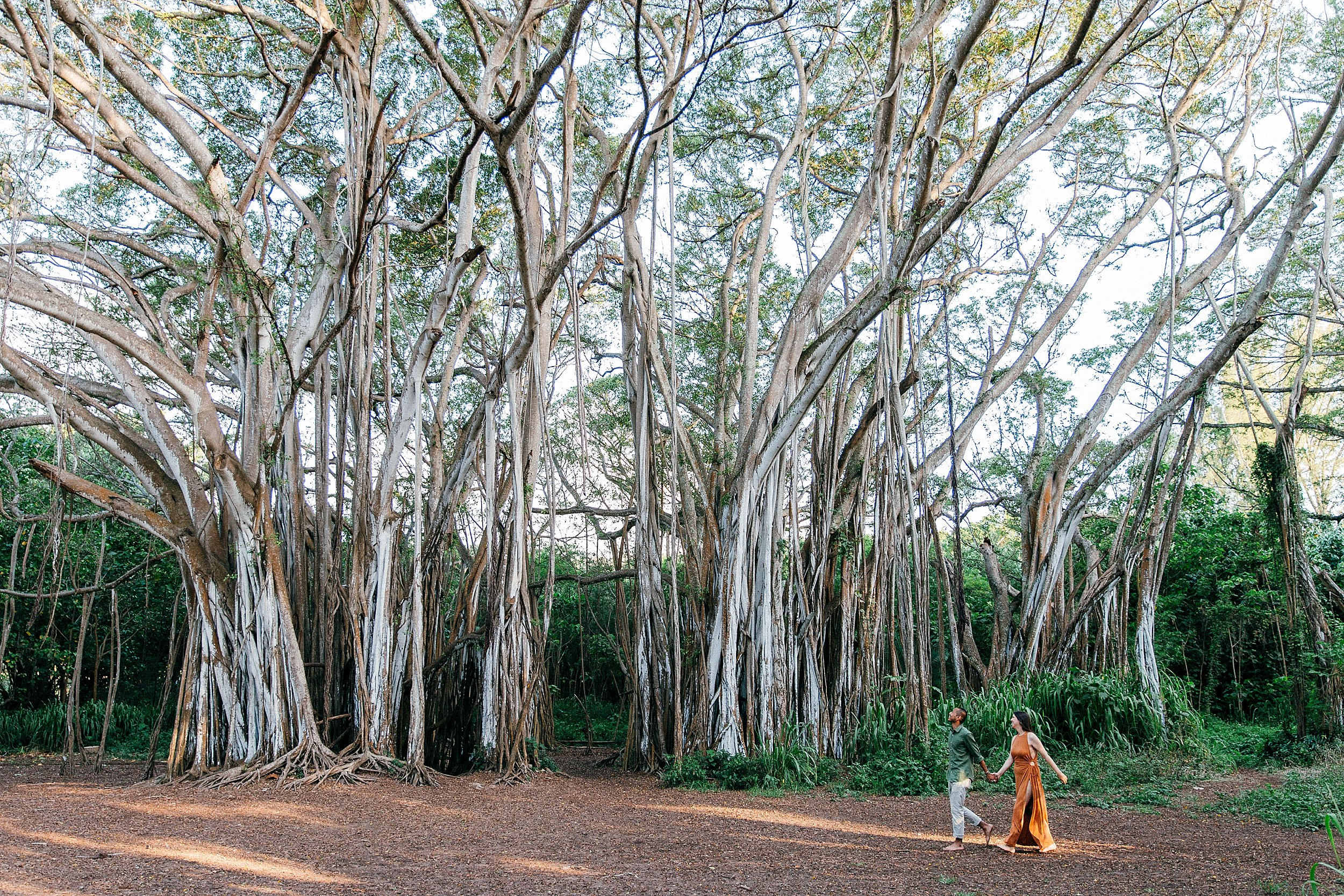Katelyn & Ignacio walk past a huge Banyan Tree at Kawela Bay on Turtle Bay Resort during their one year anniversary in Hawaii.