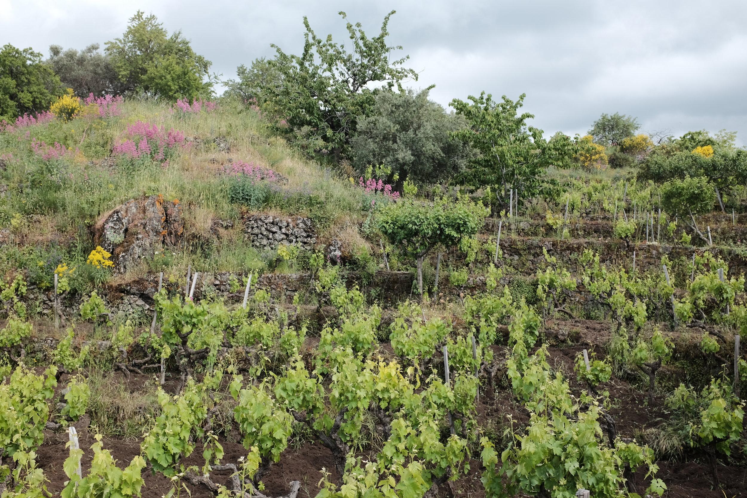 Pietradolce's Archineri vineyard