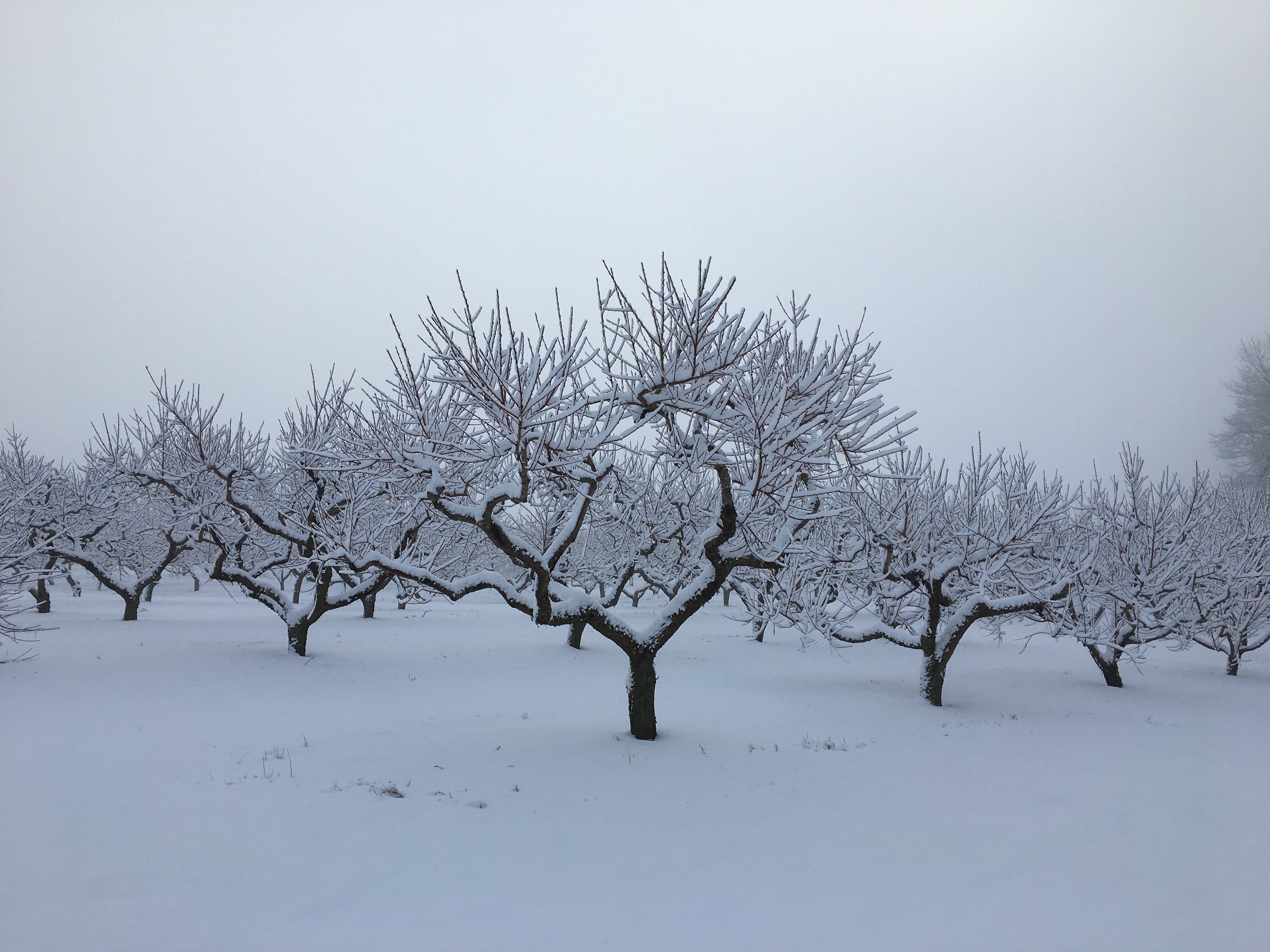 """The breathtaking natural beauty found in a NH Orchard - BTW, these are peach trees.. and they're looking real fine for 2017... (""""knock on wood"""")"""