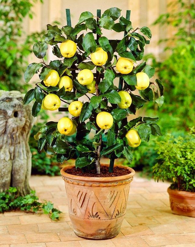 lemons_potted.jpg