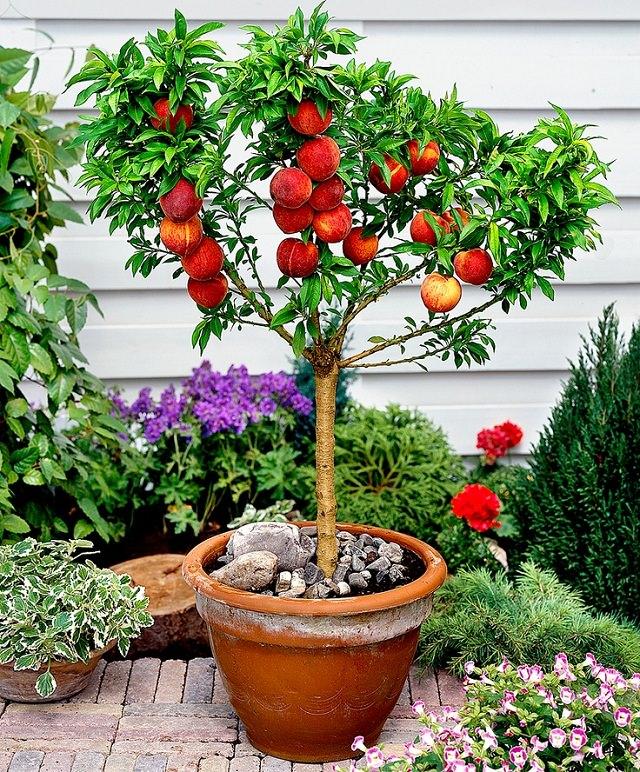 Dwarf-peach-tree.jpg