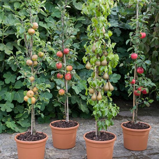 Cordons-in-pots-0901599.jpg