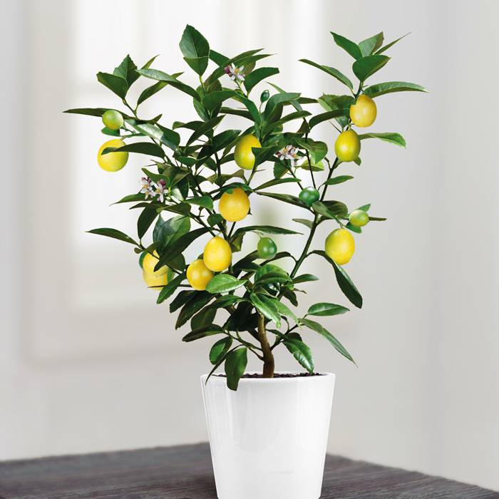 Lemon Bonsai 104.JPG