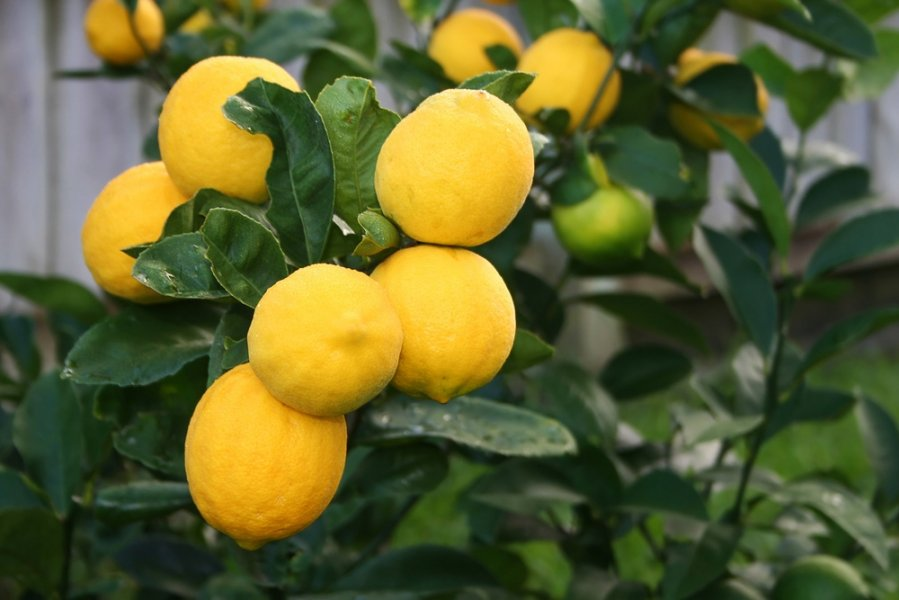 Meyer lemon.jpg