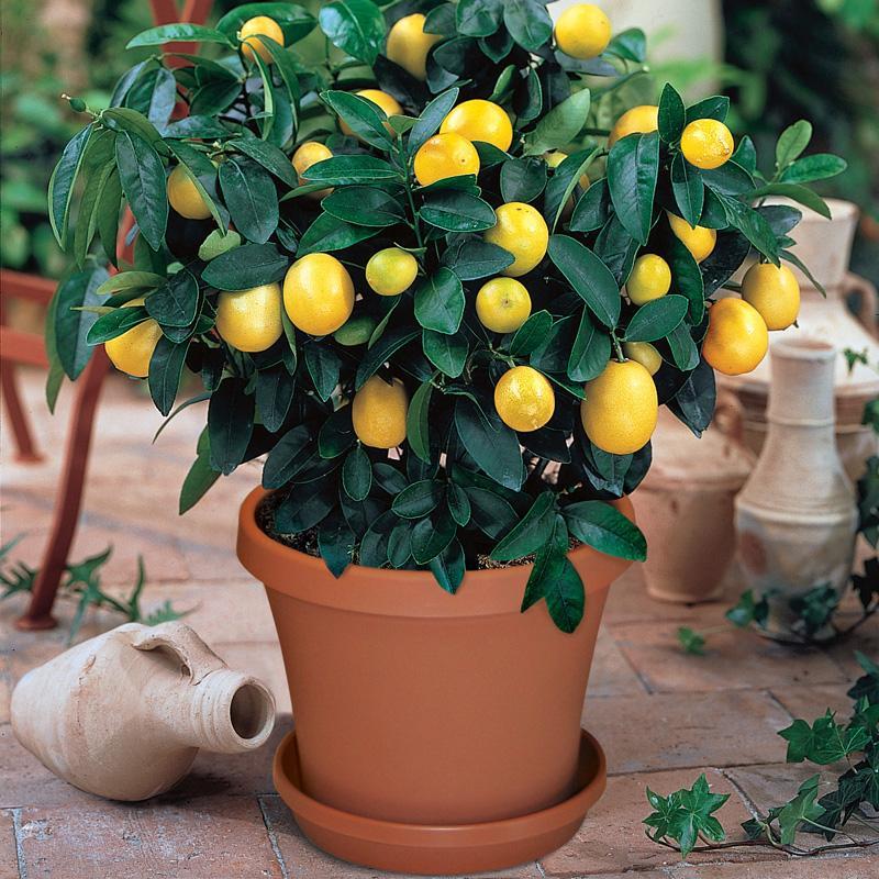 lemons_potted2.jpg