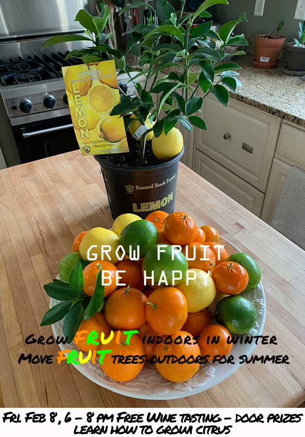 1 gallon Meyer Lemon Tree pictured above