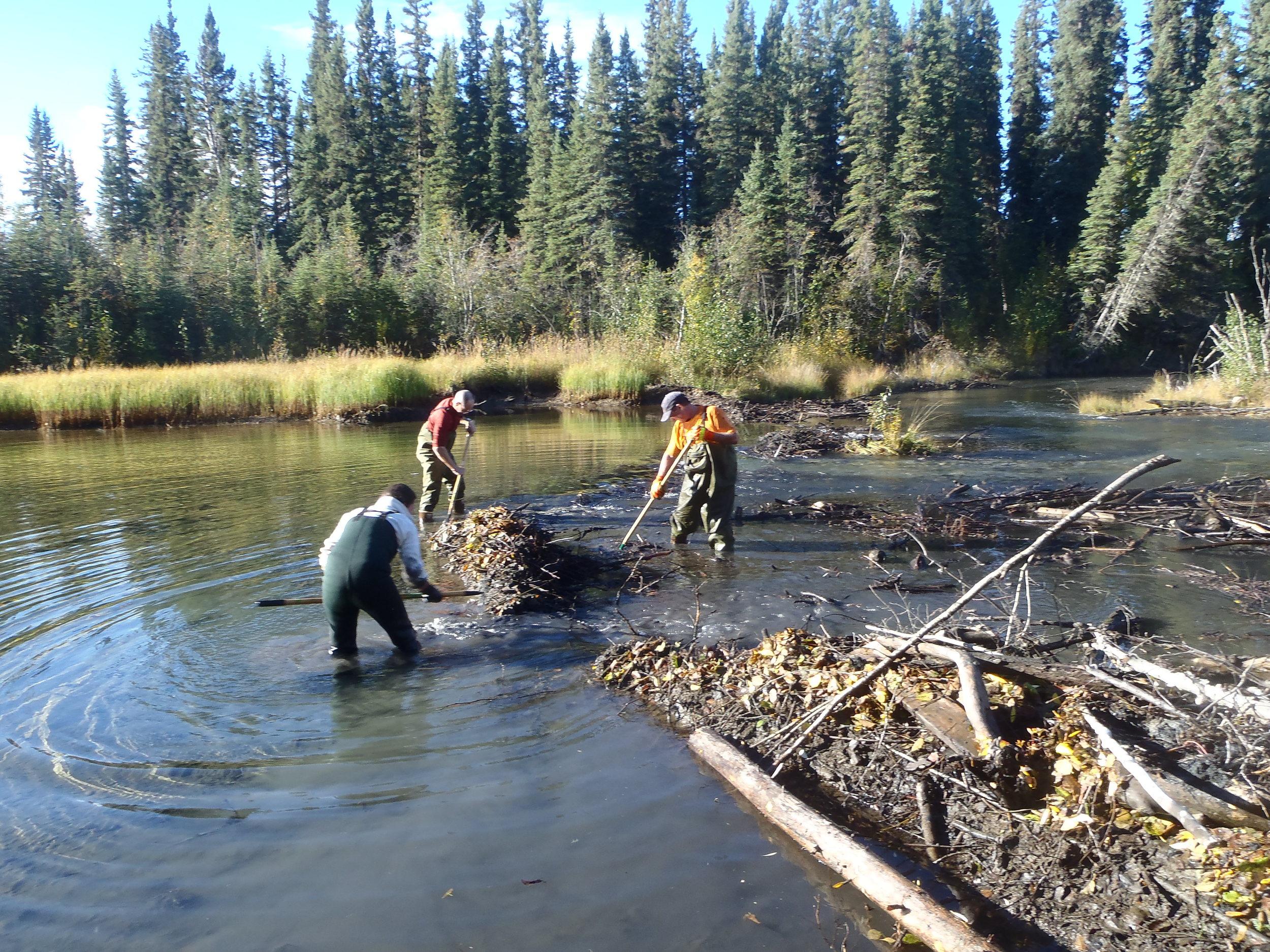 beaver dam takedown.JPG