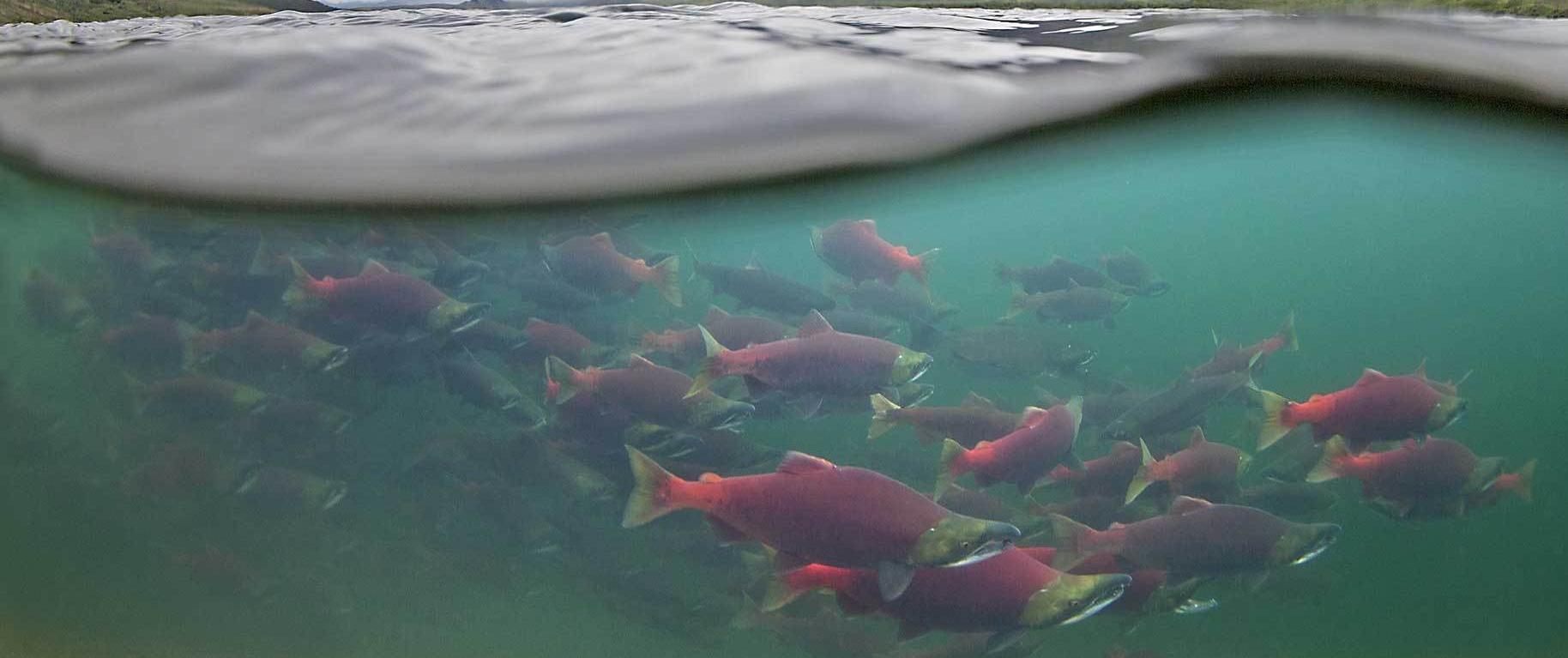 banner-salmon-meaning.jpg