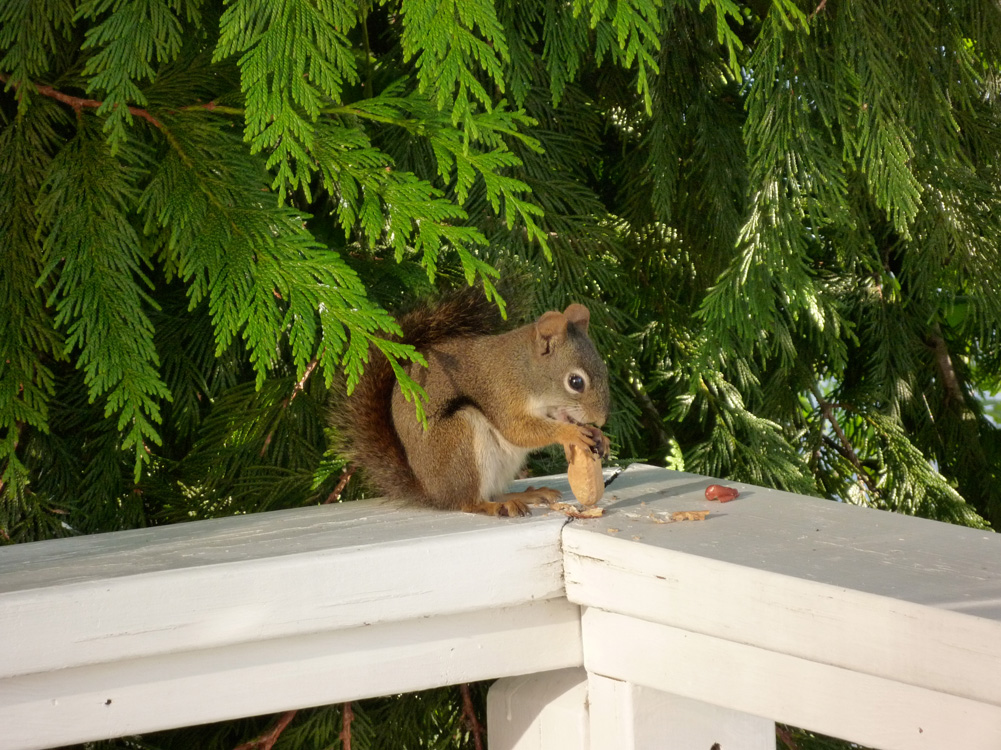 A squirrel stops by for a snack.