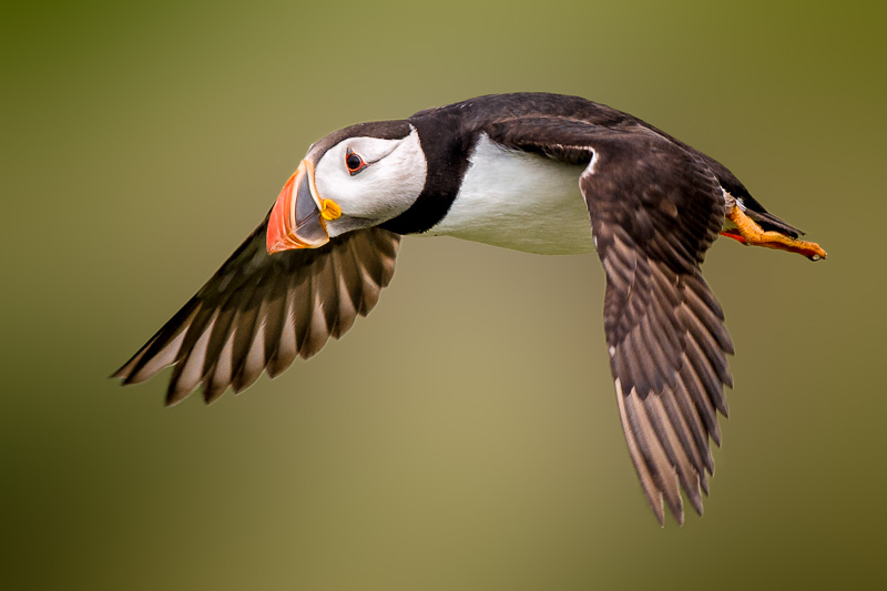 Puffin Waiting to Land