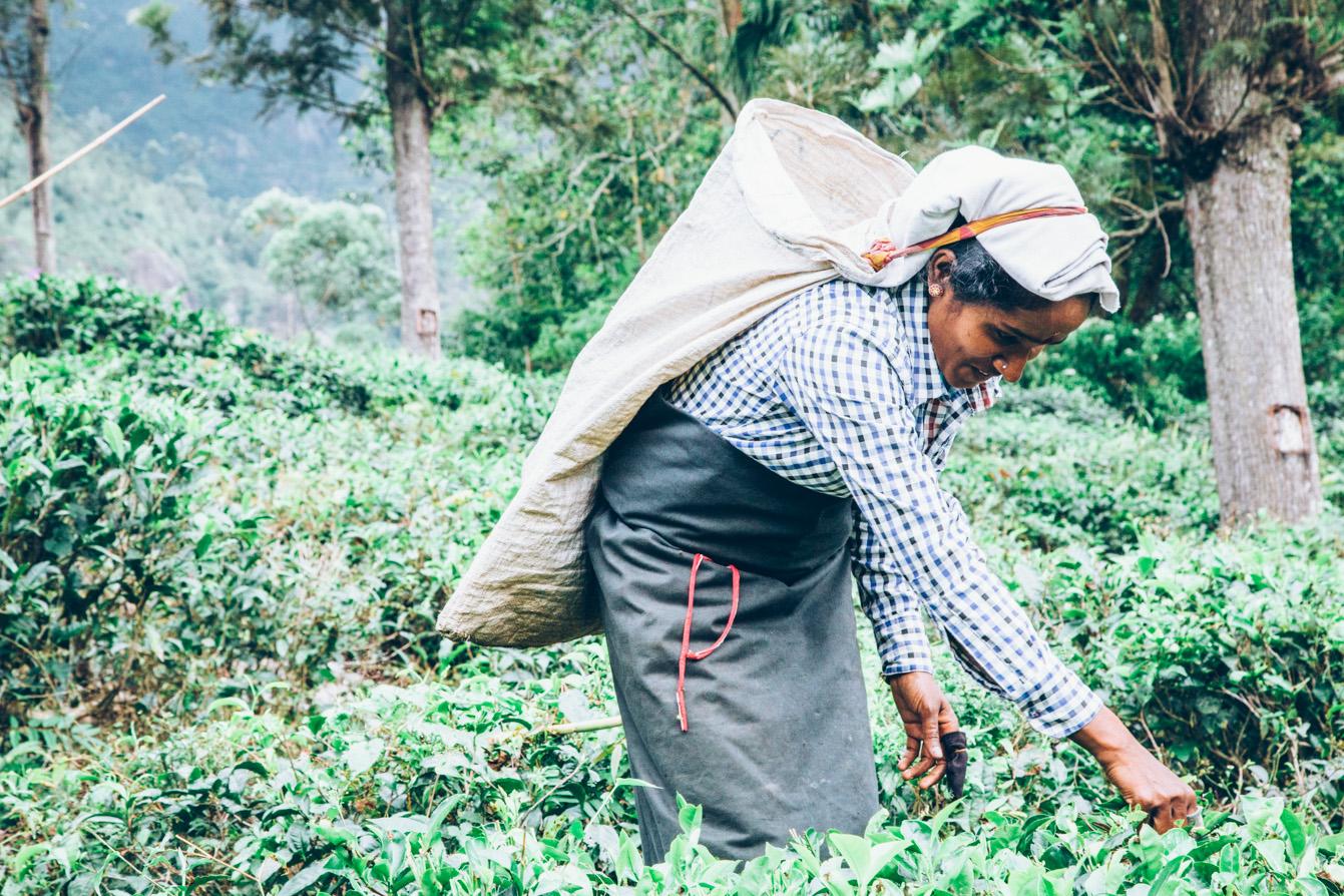 Sri-Lanka-Tea-Zach-Ashton-5.jpg