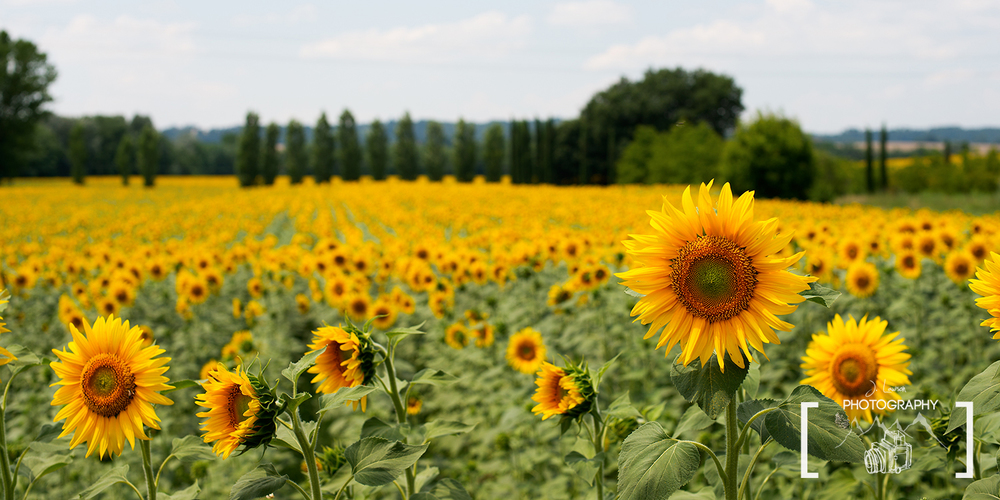 This sunflower composition utilizes depth of field for color