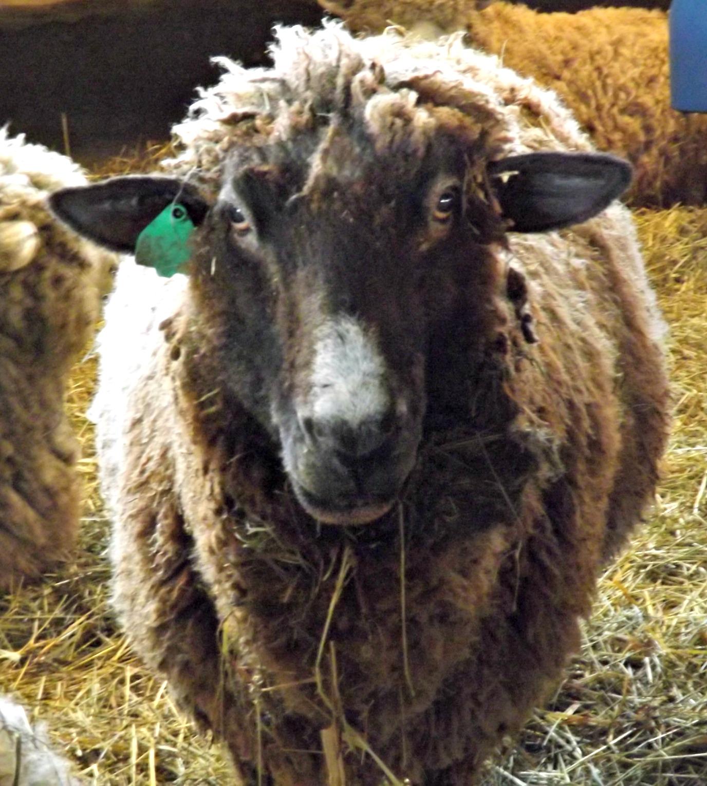 Foster Sheep Farm 015.JPG
