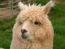 alpaca-face.jpg