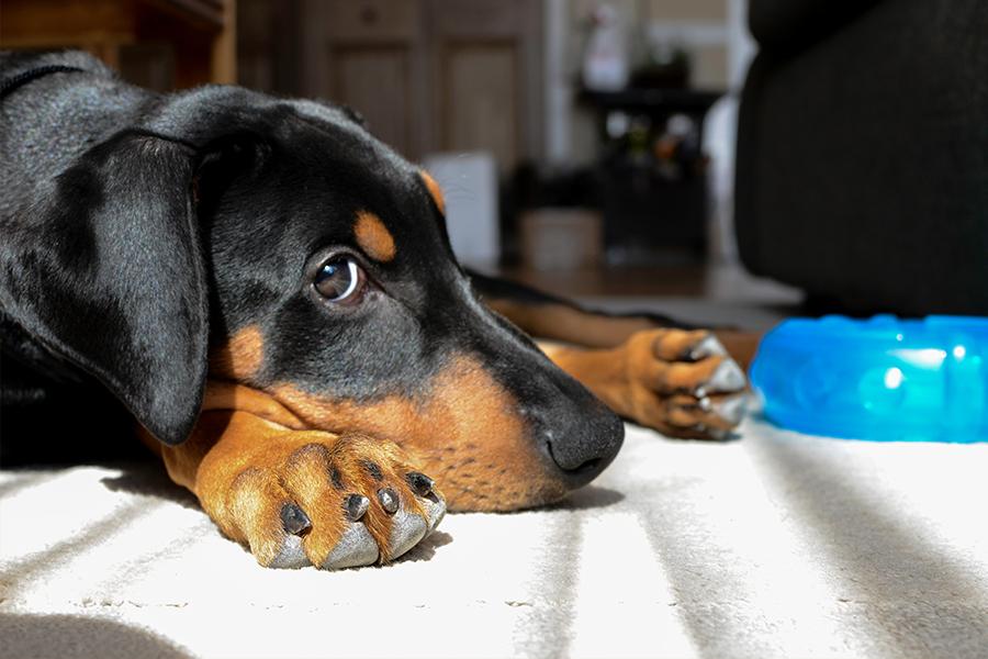 dog puppy doberman washington dc photographer