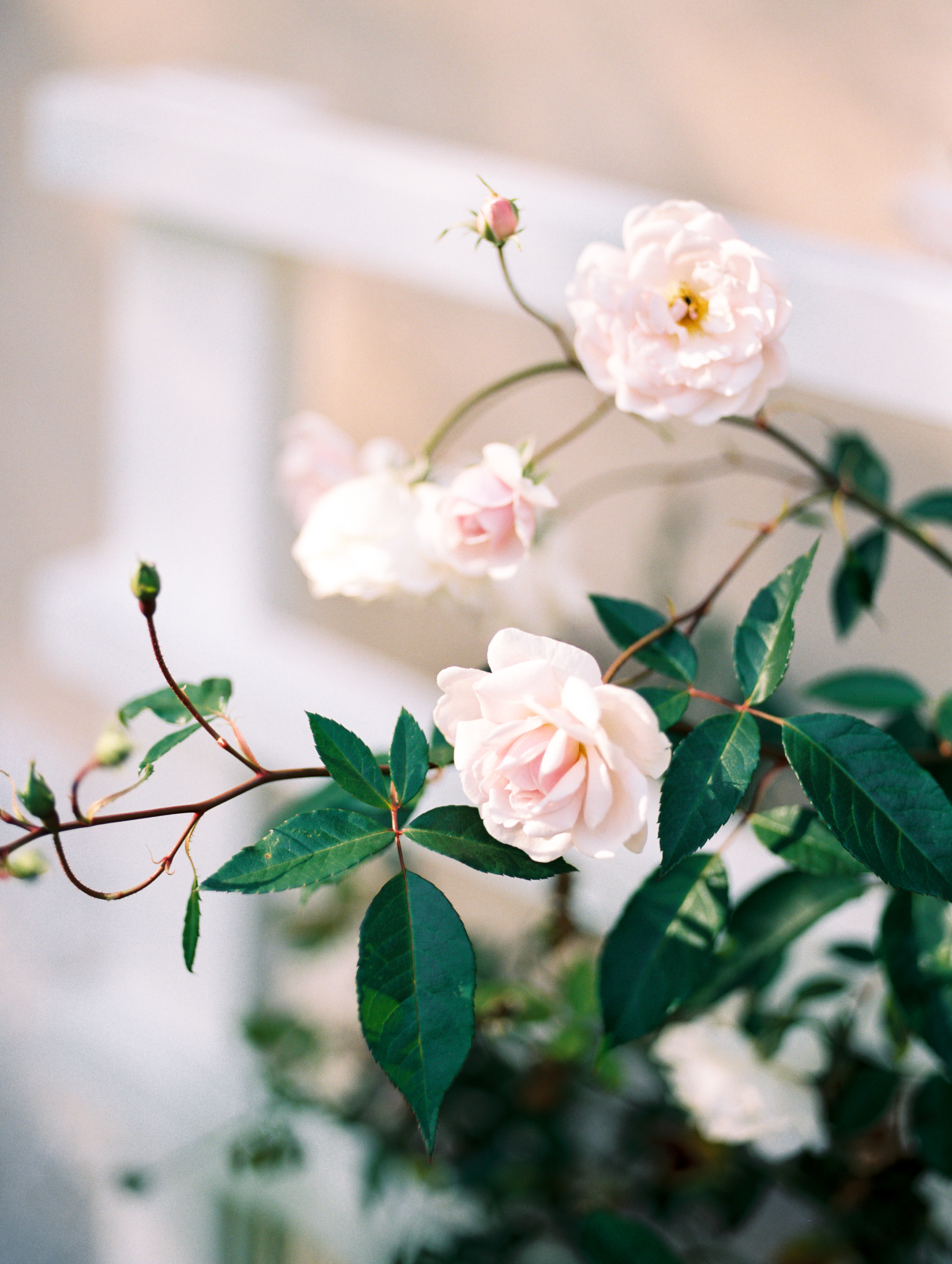 Roses at Tudor Place in Washington DC by fine art wedding photographer Lissa Ryan Photography