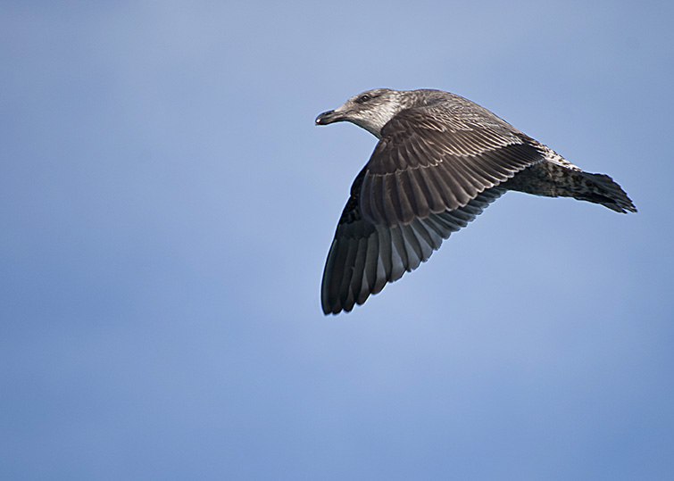 Sea bird - skua.jpg