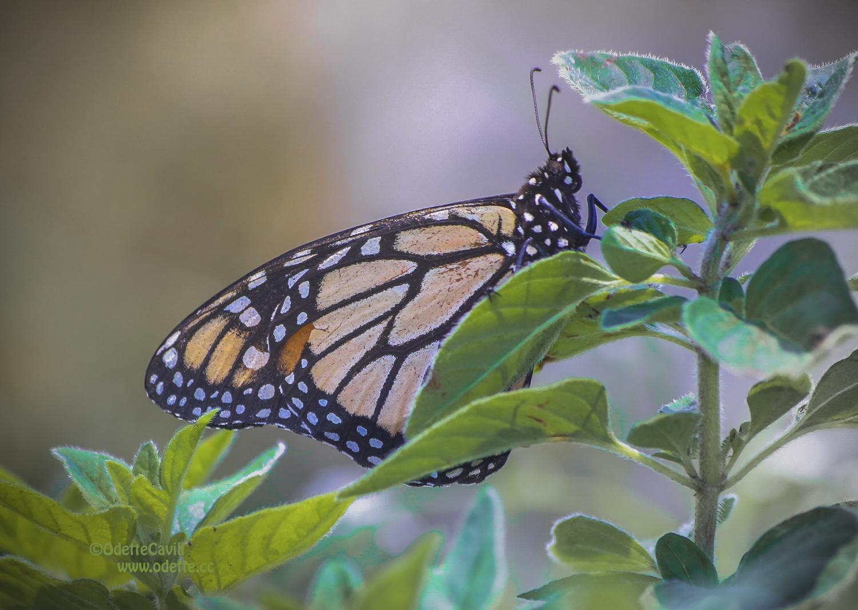 Butterfly in garden behind flower_Dec 2015.jpg