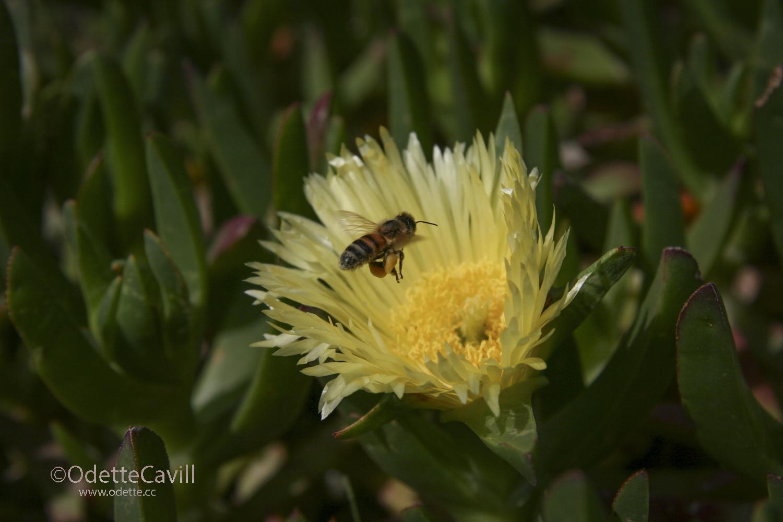 Bee laden with Pollin WM.jpg
