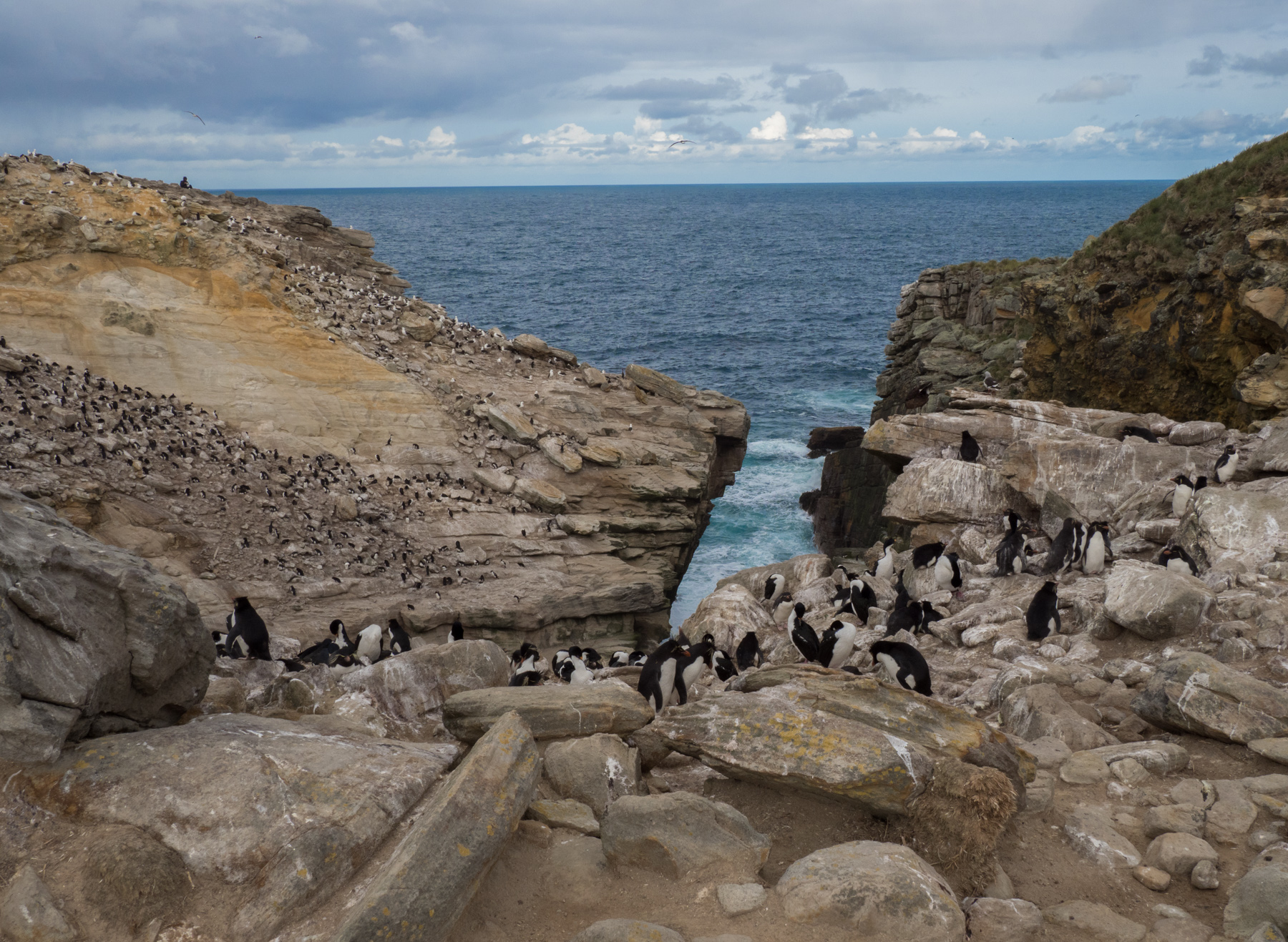 Rockhopper Penguins share the space at Coffin Harbour with Black-browed Albatross