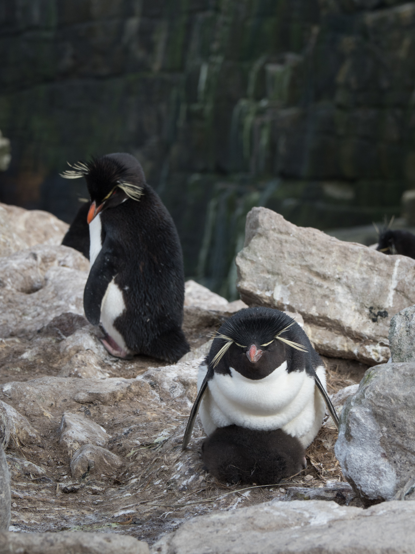 Rockhopper Penguin keeping his chick warm as his mate keeps a watchful eye.  Chick would be approx. 2 weeks old.