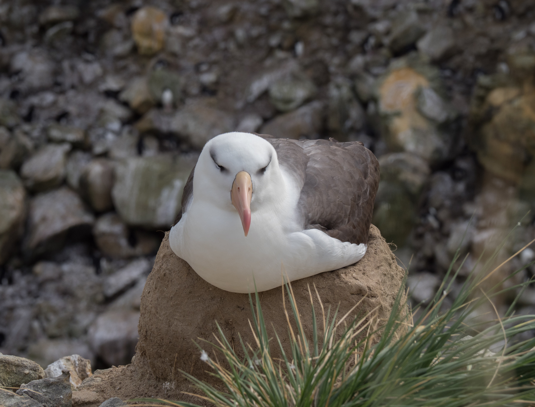Black-browed Albatross sitting on its egg. Nest is made of mud and poo and twigs etc