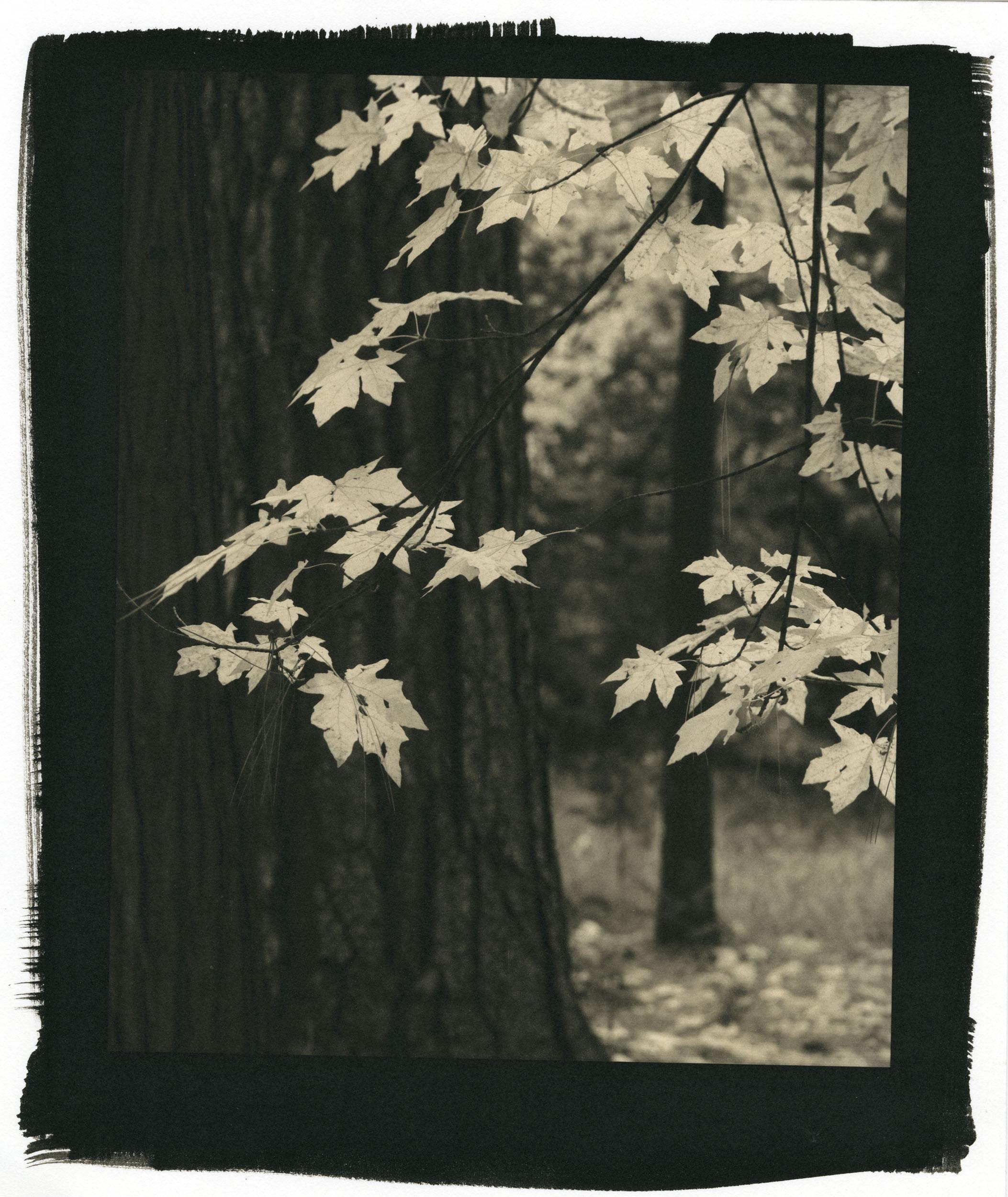 """Autumn, Yosemite  (Platinum/Palladium Print, 8 x 10"""")"""