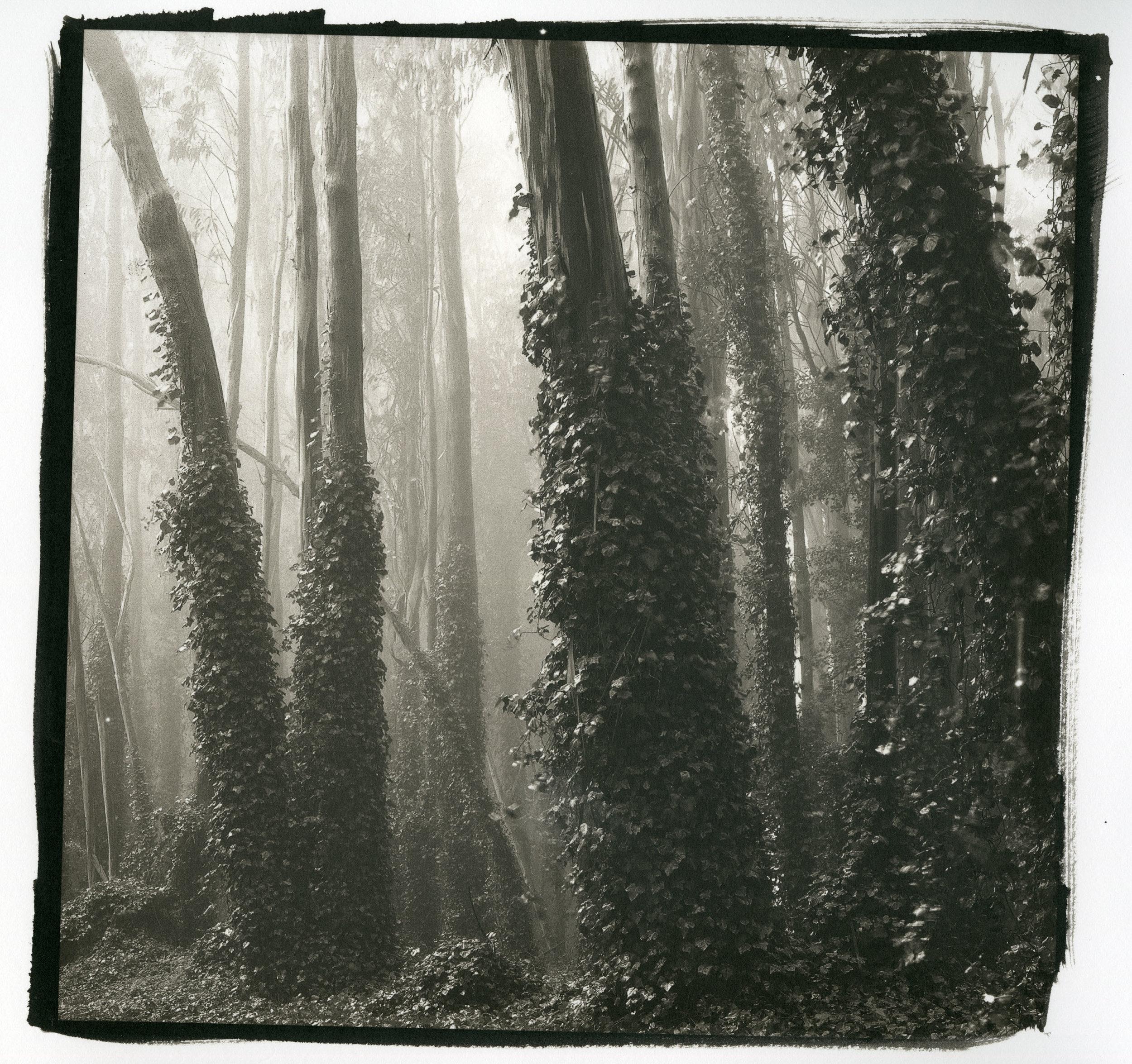 "Trees and Ivy No.2 (Platinum/Palladium Print, 10"" x 10"")"