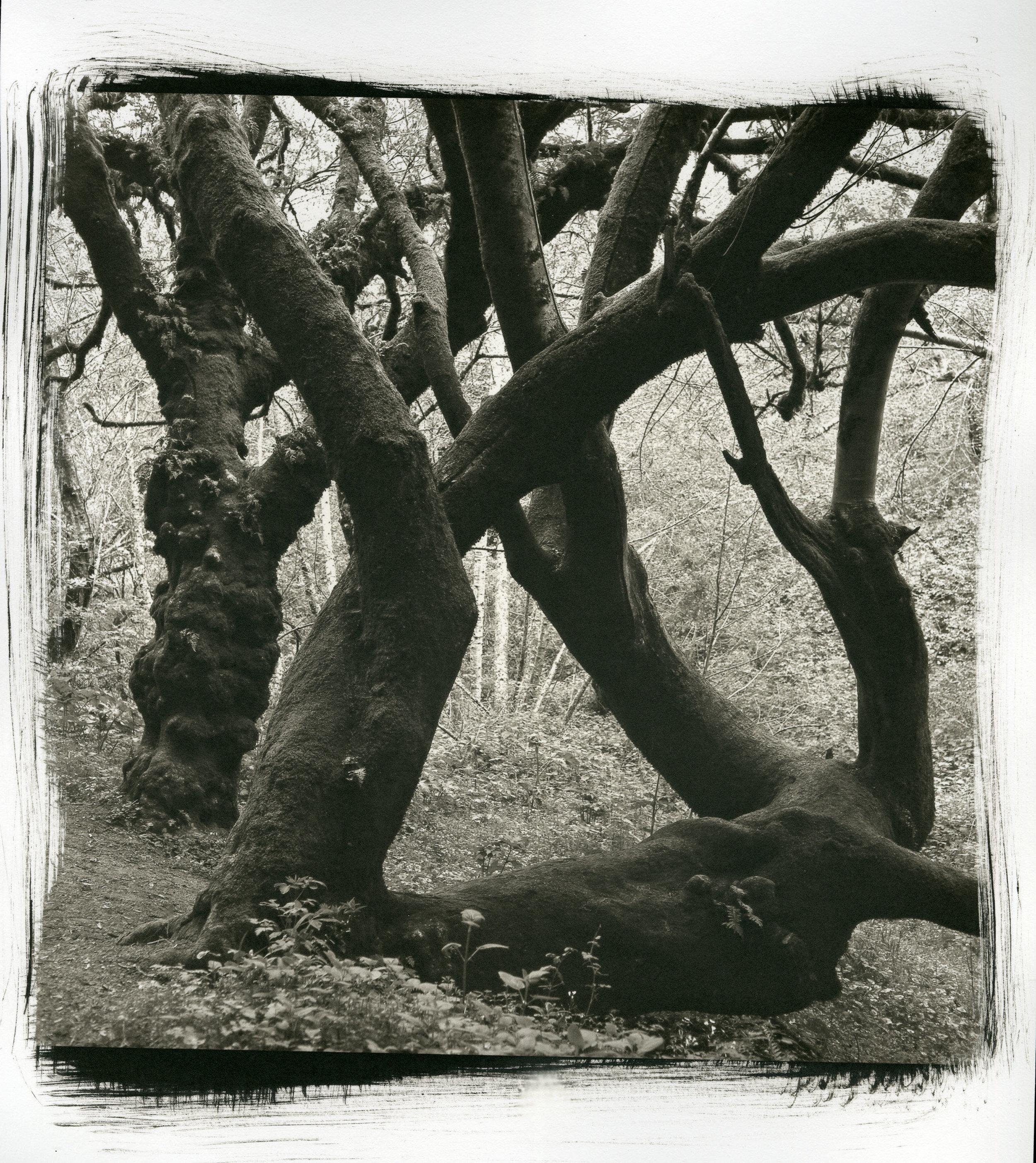 "Bear Valley Tree (Platinum/Palladium Print, 10"" x 10"")"