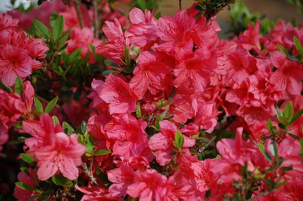 azalea-bush.jpg