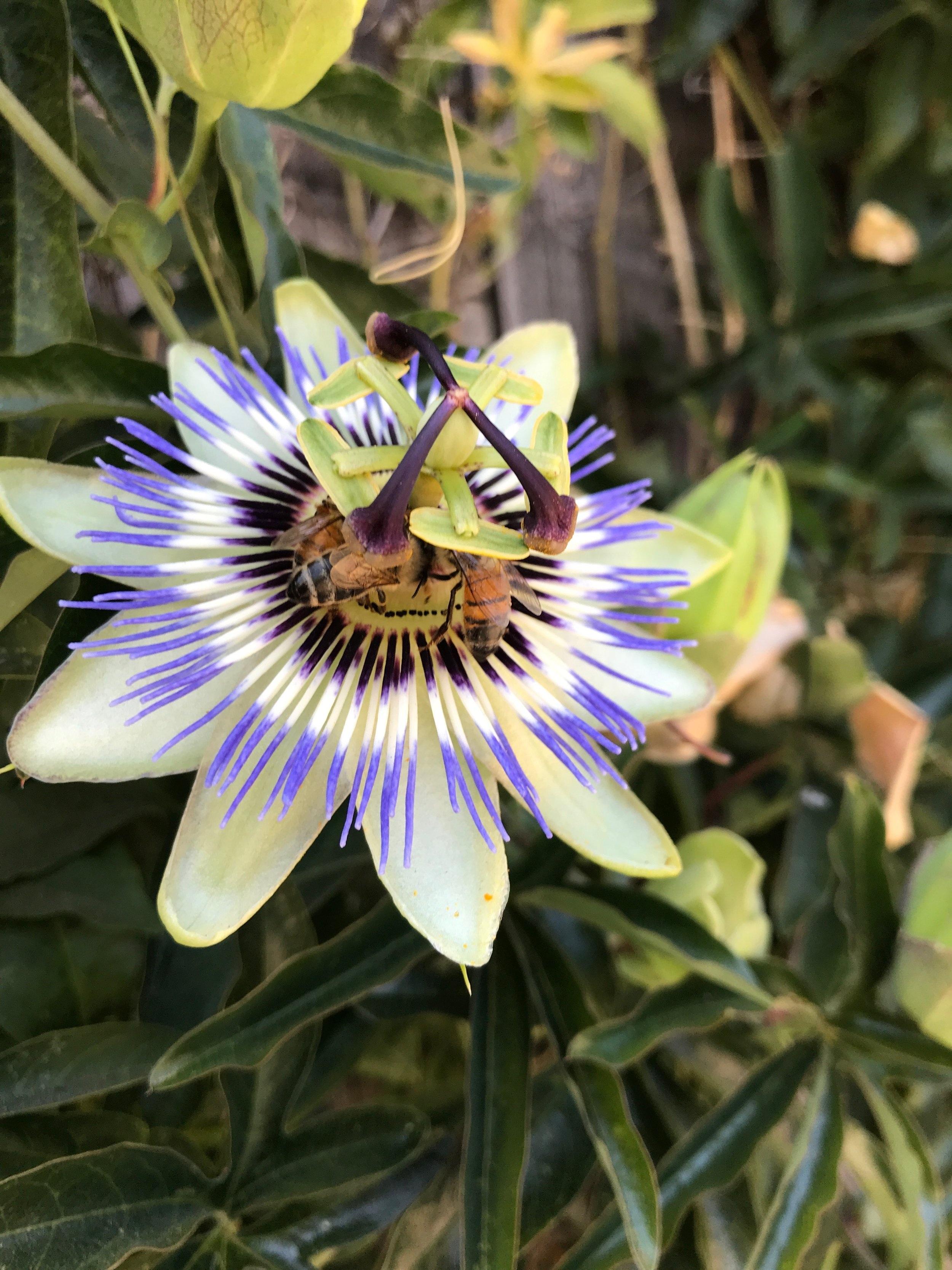 HoneyBeePassiflora