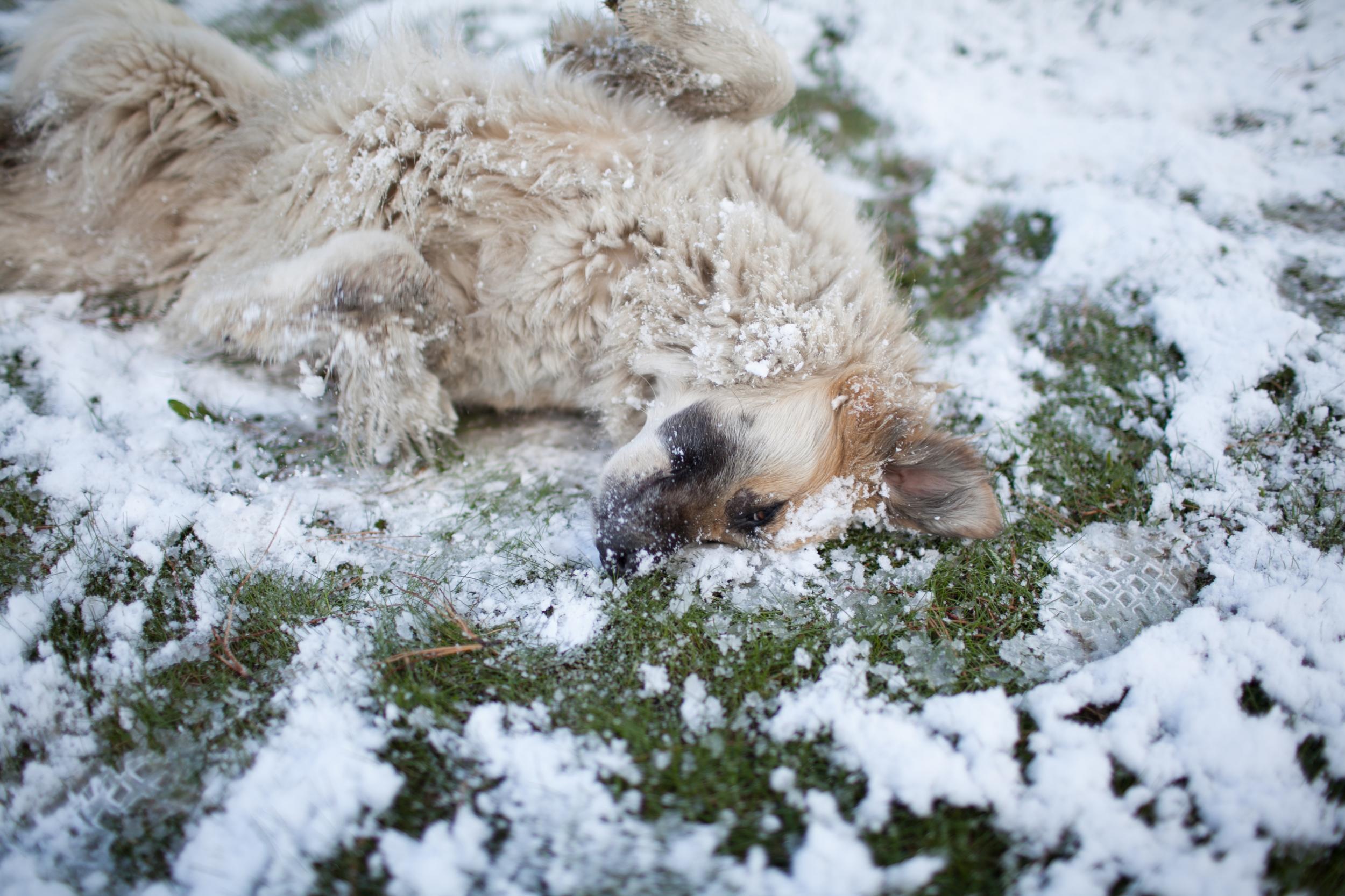 Cachorro feliz rolando na neve