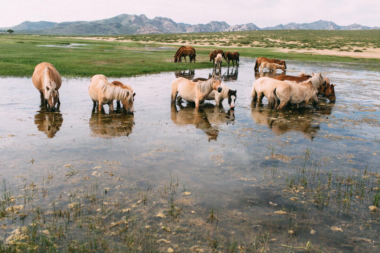 cavalos selvagens mongolia familia nomade