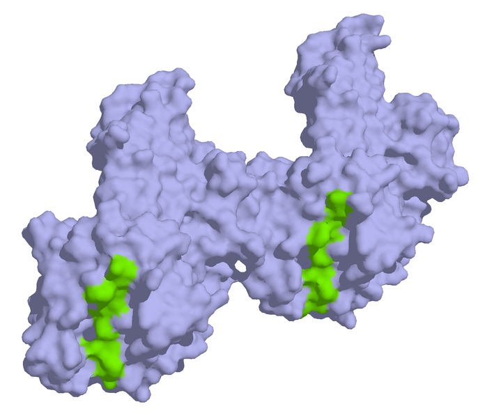 """HLA antibodies complexed to alpha-/beta-gliadin."" Image: Wikimedia Commons"