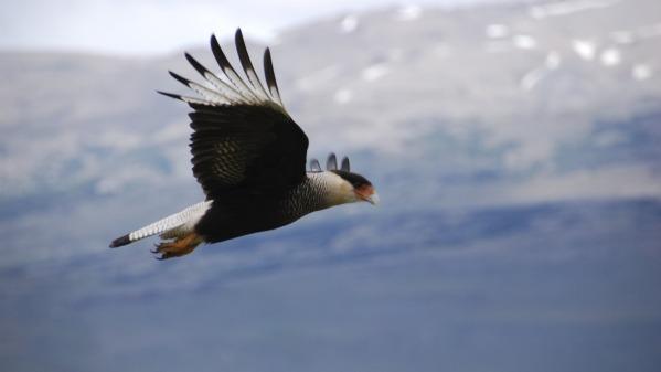Caracara_in_flight.jpg