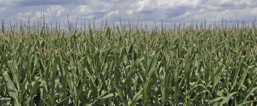 Corn_field_ohio.jpg