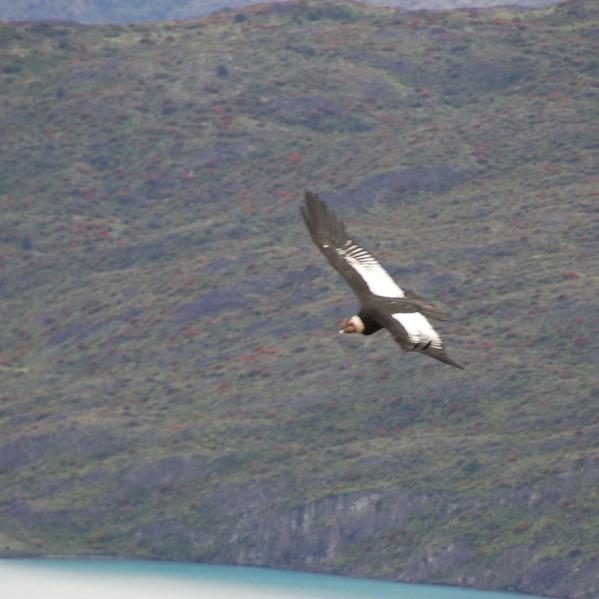 Andean_Condor.jpg