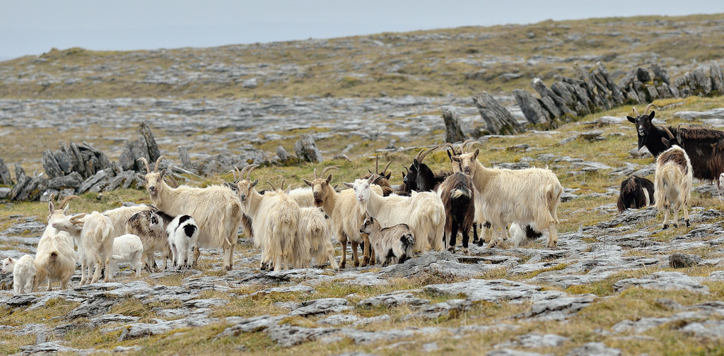 Wild goats on top of Slieve Carran in the Burren National Park
