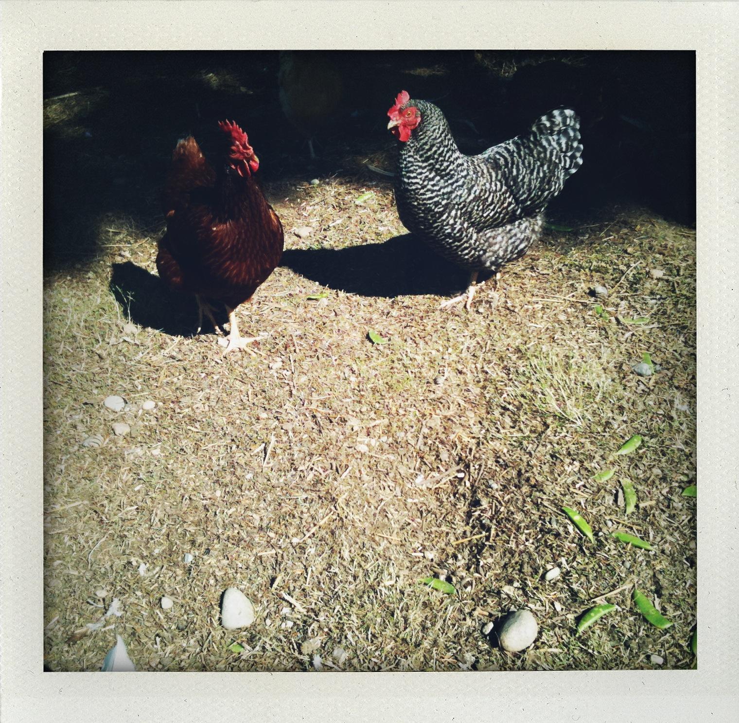 two-chickens.jpg