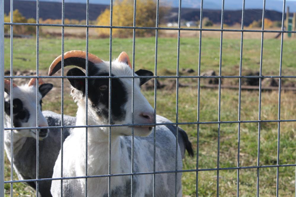 sheep_shearing12.jpg