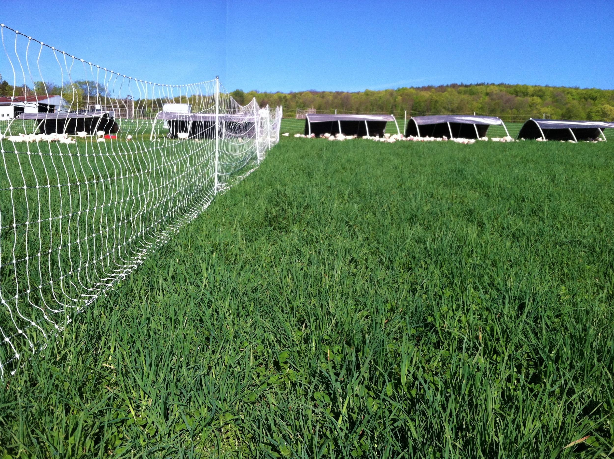 JFF chickens on pasture