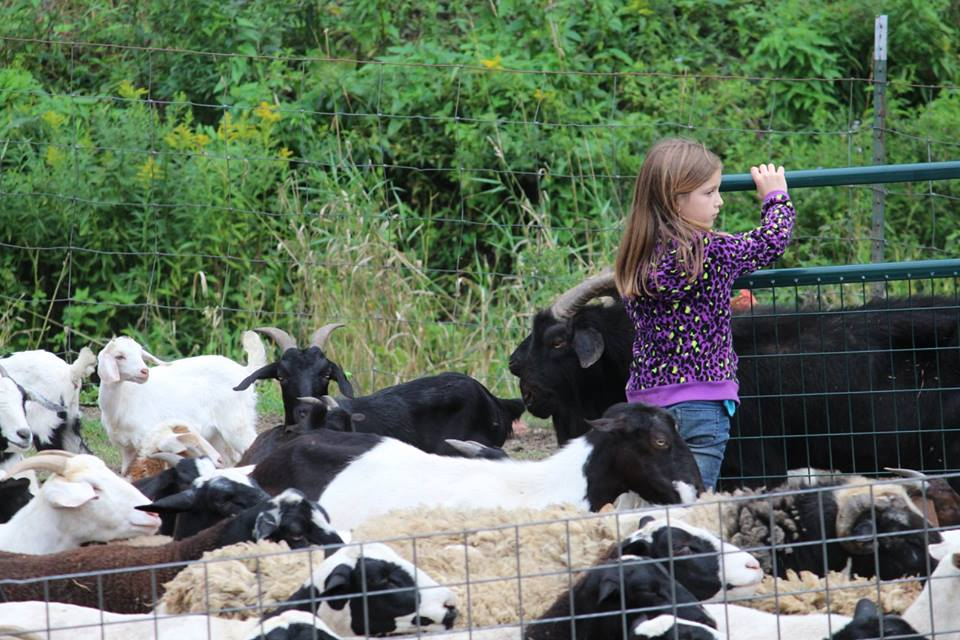 Evelyn at the head of the pack waiting to go to pasture_Margaret letting them out.jpg