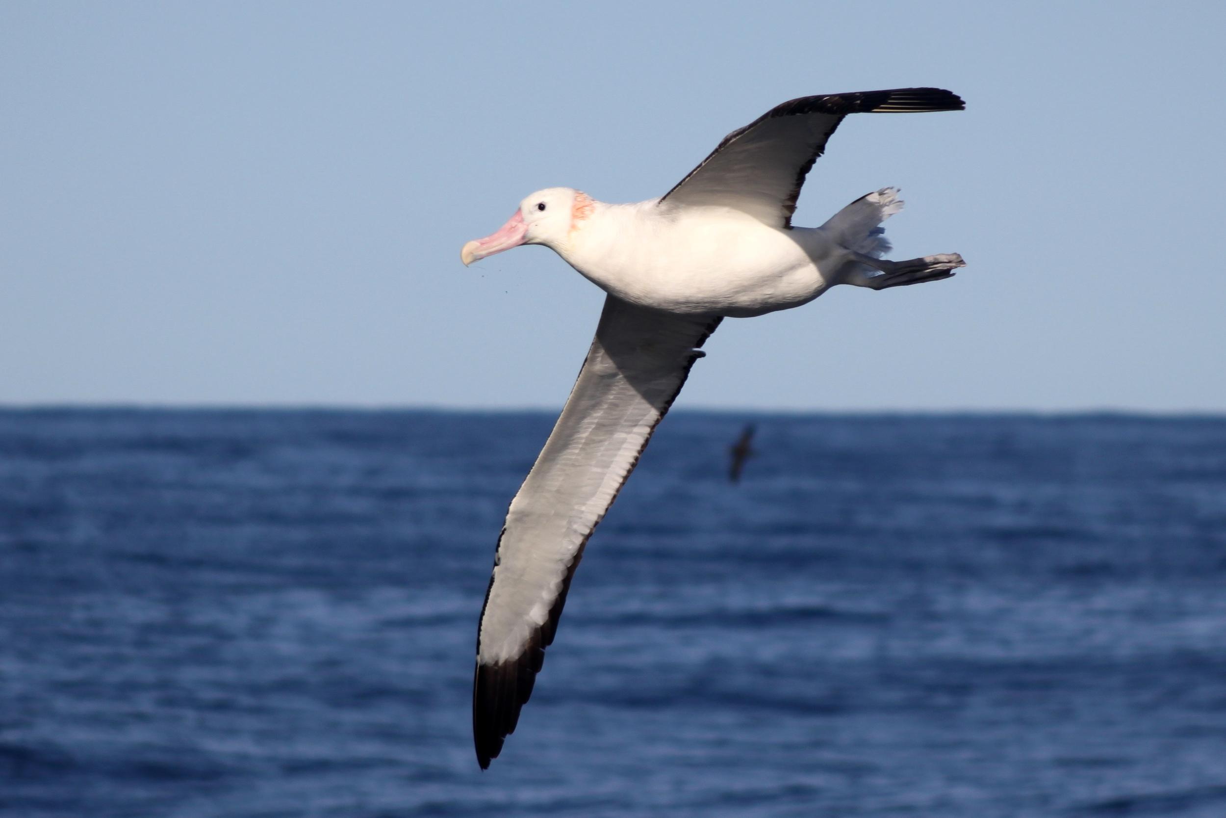 Great albatross (Photo: Dimas Gianuca, Projeto Albatroz)