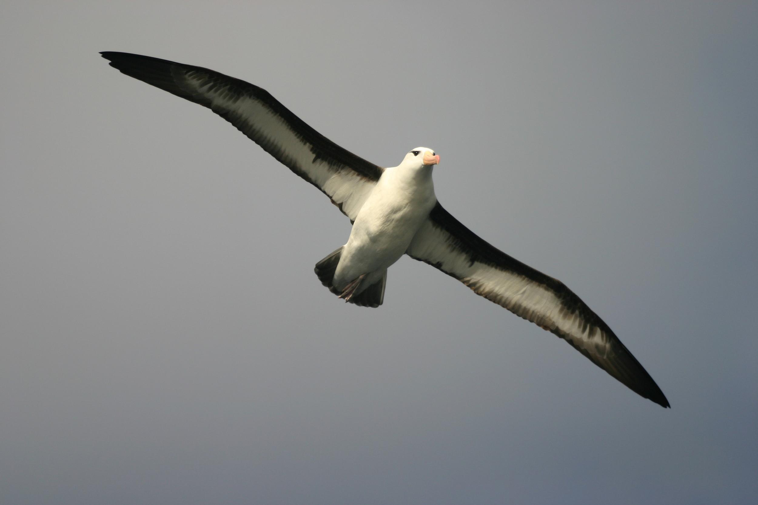 Mollymawks (Photo: Oliver Yates, BirdLife International)