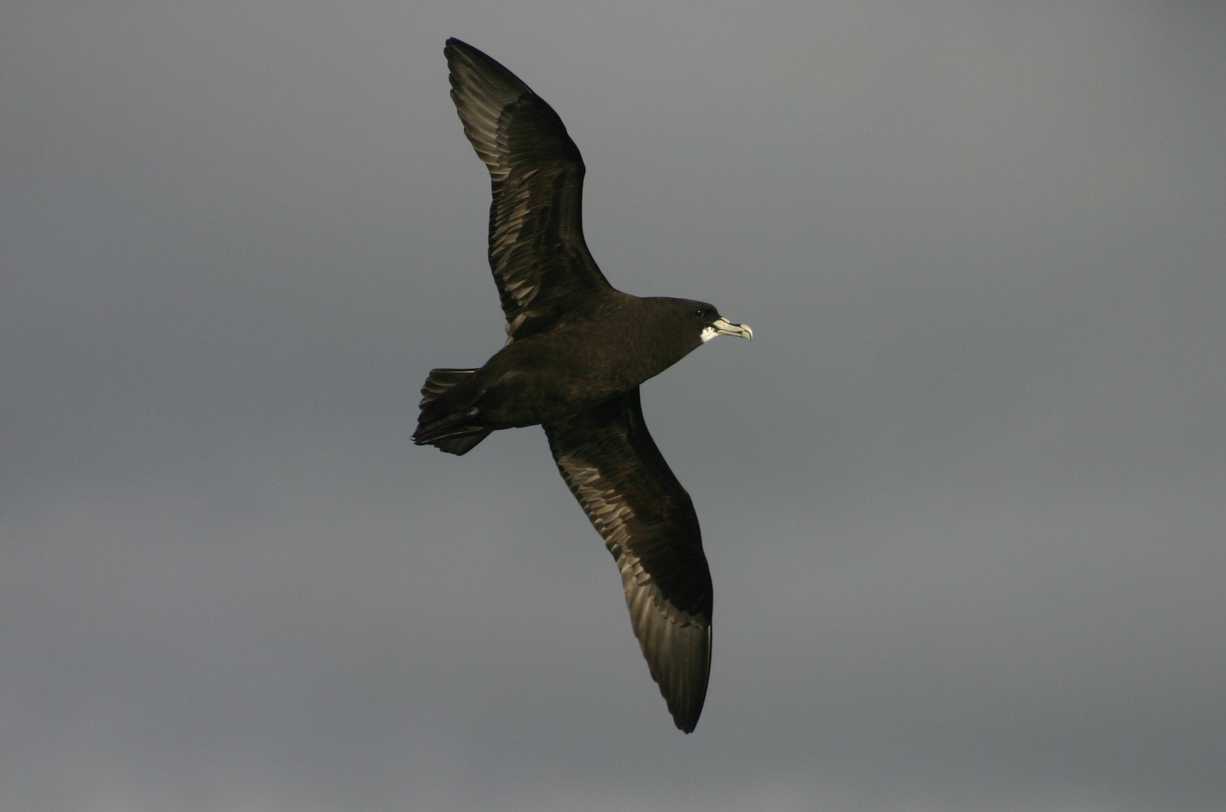 Petrels & Shearwaters (Photo: Oliver Yates, BirdLife International)